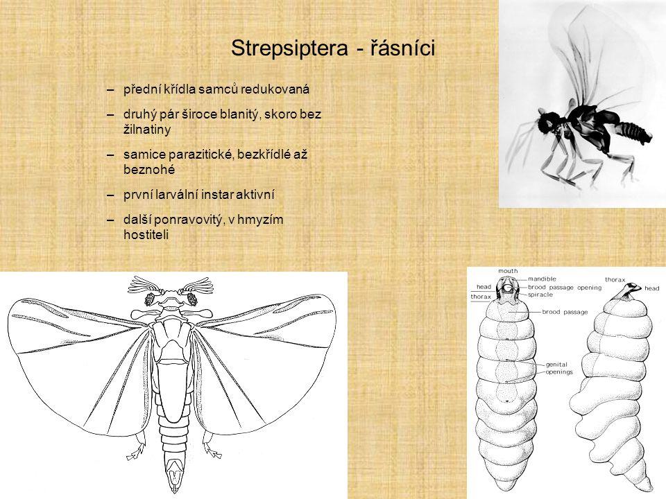 Strepsiptera - řásníci