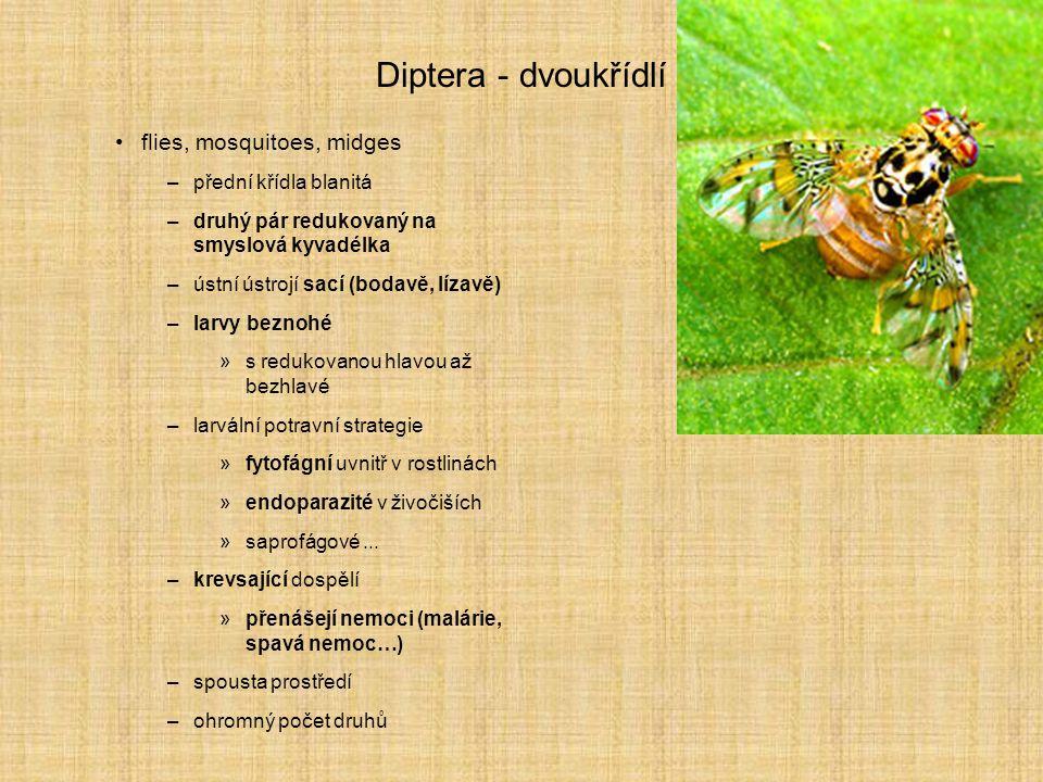Diptera - dvoukřídlí flies, mosquitoes, midges přední křídla blanitá