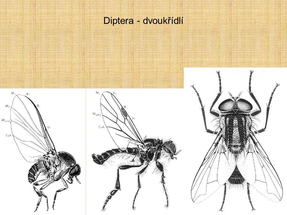 Diptera - dvoukřídlí