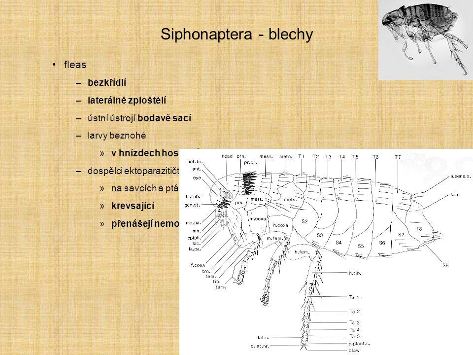 Siphonaptera - blechy fleas bezkřídlí laterálně zploštělí