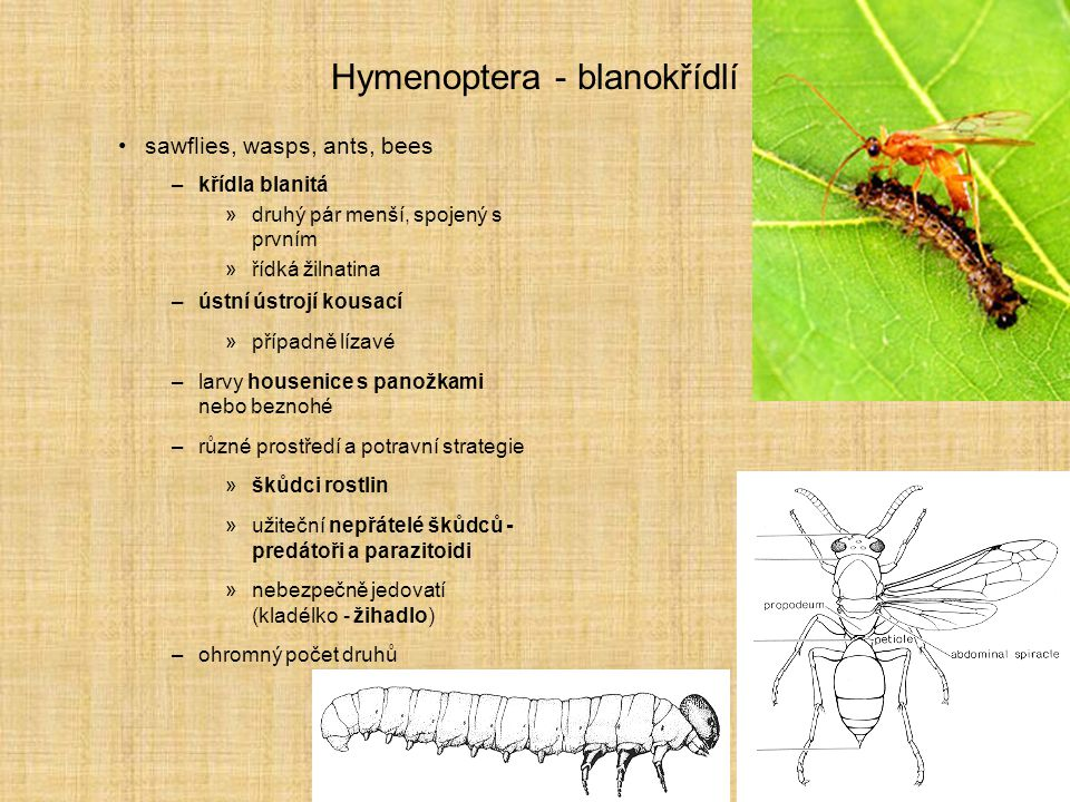 Hymenoptera - blanokřídlí