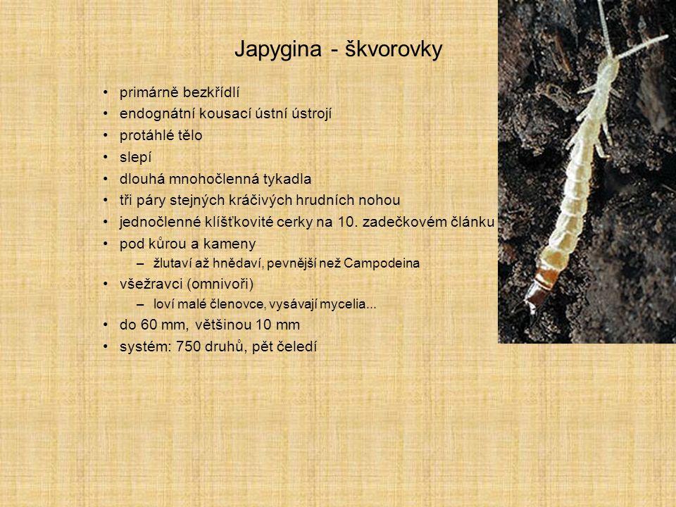 Japygina - škvorovky primárně bezkřídlí