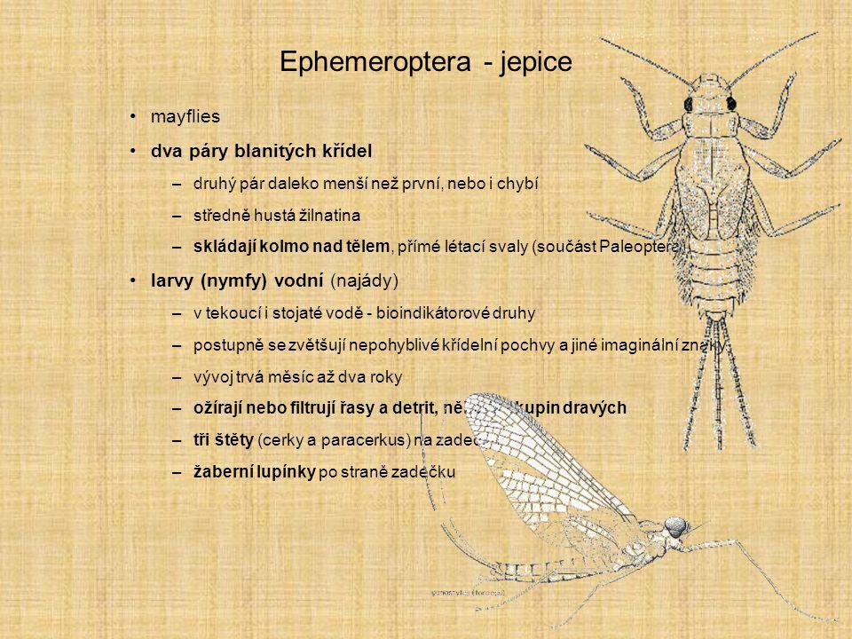 Ephemeroptera - jepice