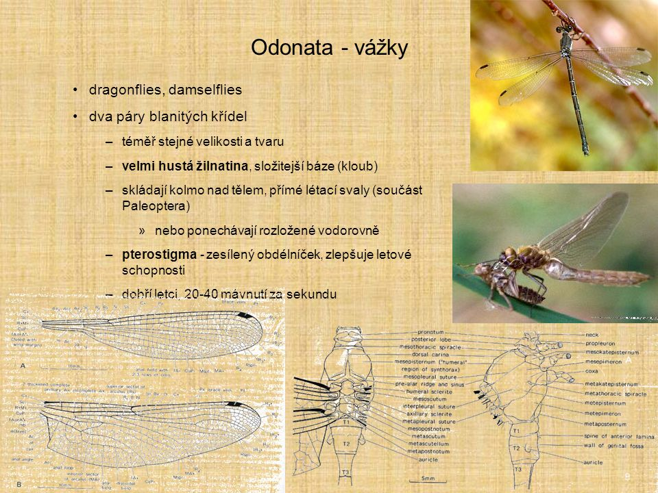 Odonata - vážky dragonflies, damselflies dva páry blanitých křídel