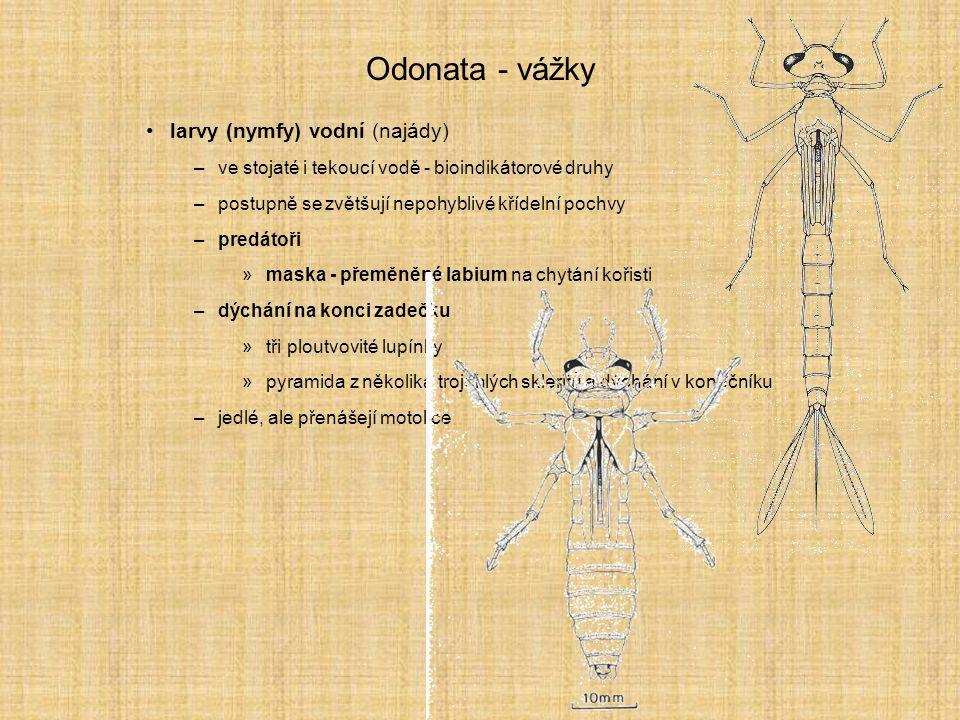 Odonata - vážky larvy (nymfy) vodní (najády)
