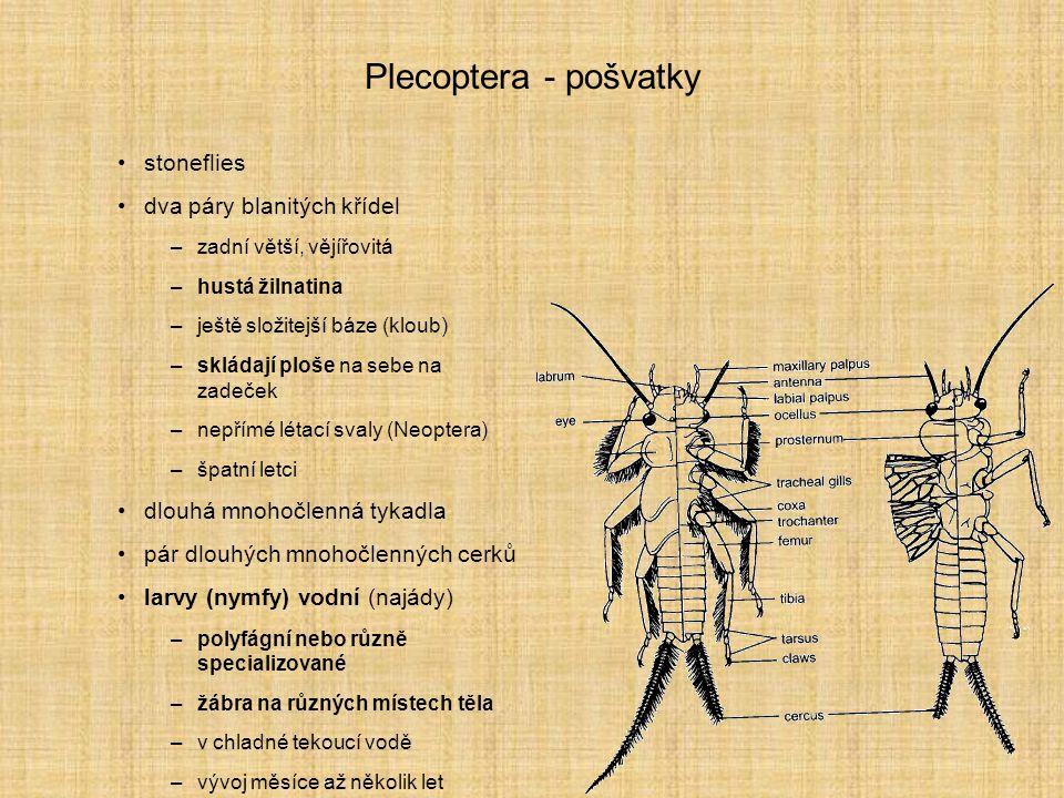 Plecoptera - pošvatky stoneflies dva páry blanitých křídel