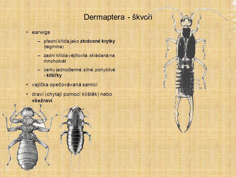 Dermaptera - škvoři earwigs vajíčka opečovávaná samicí