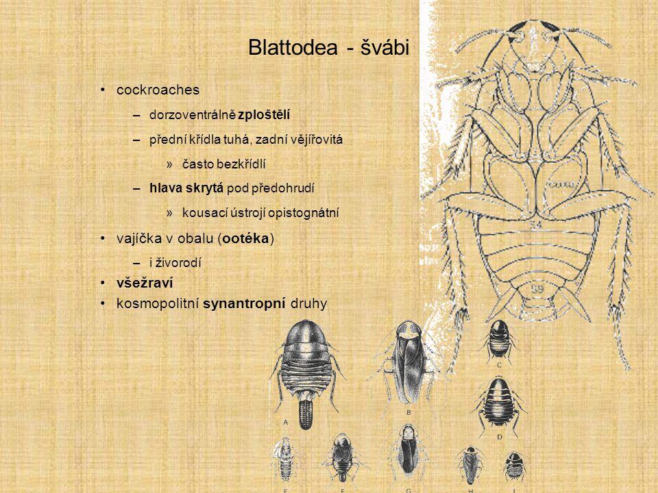 Blattodea - švábi cockroaches vajíčka v obalu (ootéka) všežraví