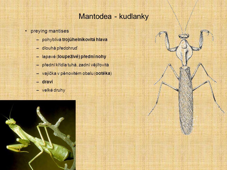 Mantodea - kudlanky preying mantises pohyblivá trojúhelníkovitá hlava