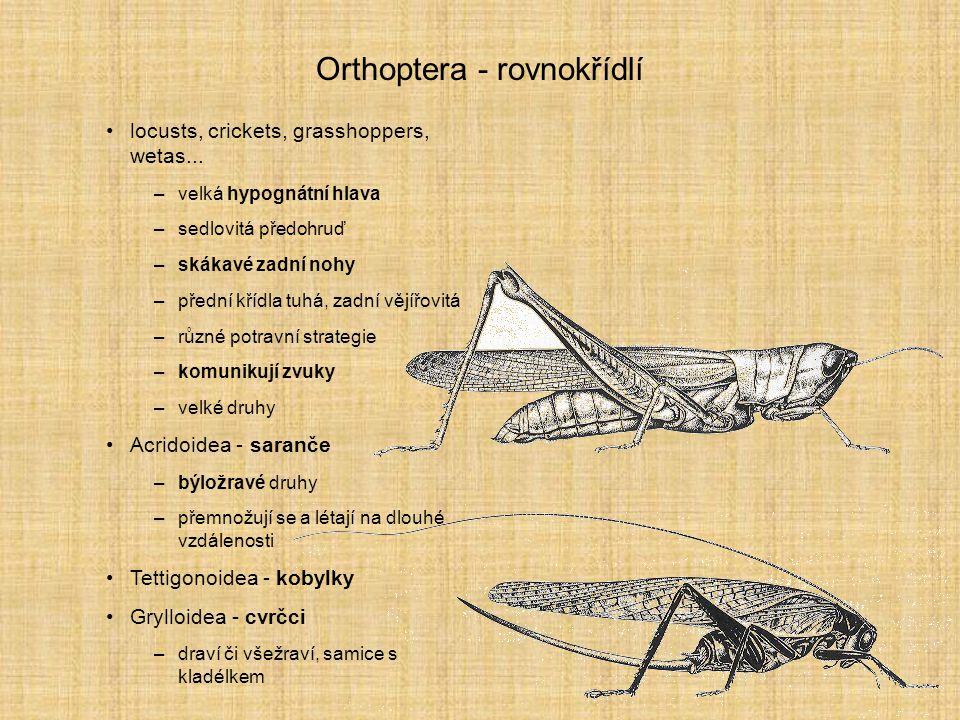 Orthoptera - rovnokřídlí
