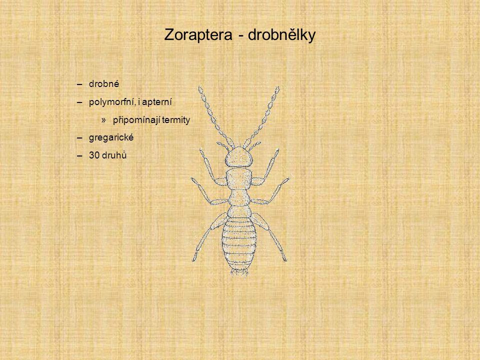 Zoraptera - drobnělky drobné polymorfní, i apterní připomínají termity