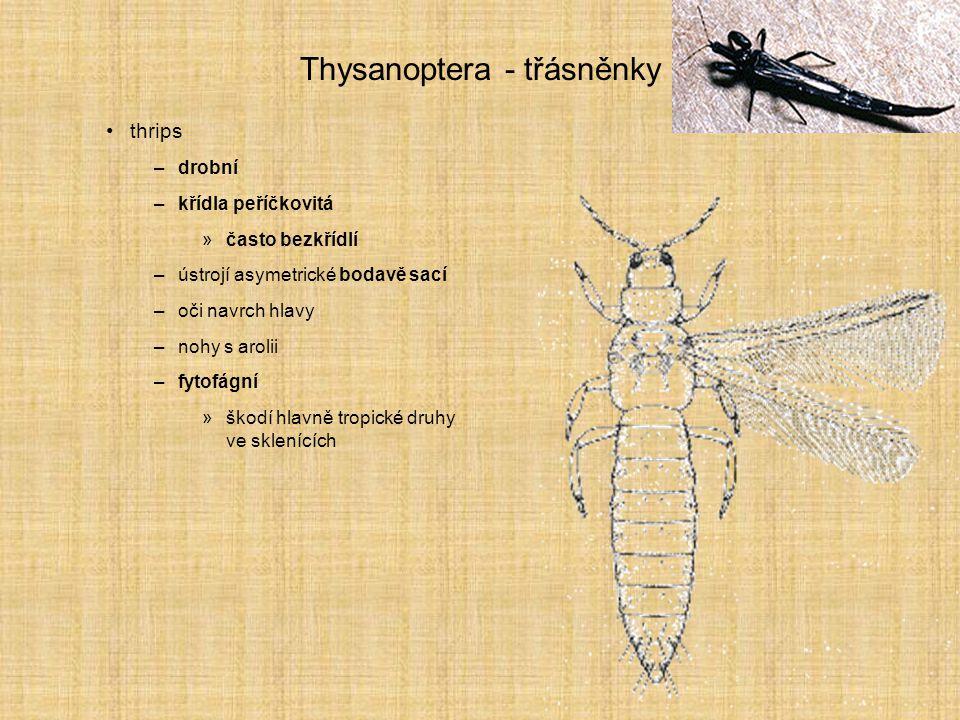 Thysanoptera - třásněnky