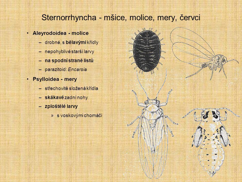 Sternorrhyncha - mšice, molice, mery, červci