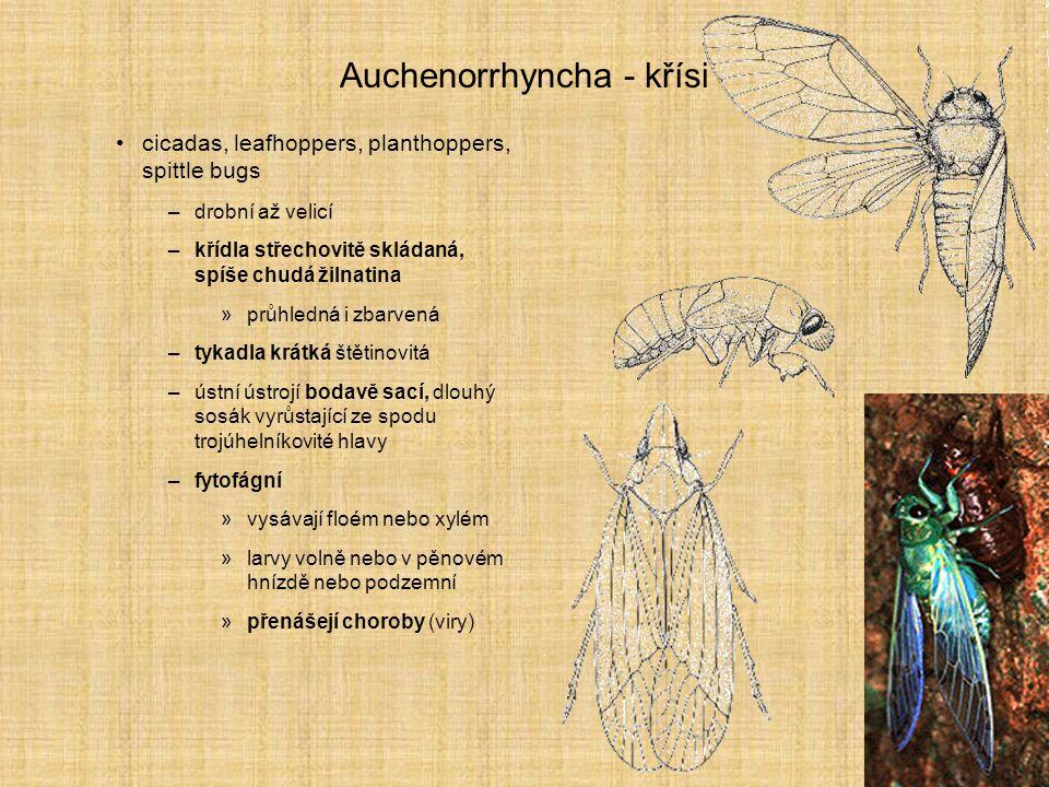 Auchenorrhyncha - křísi