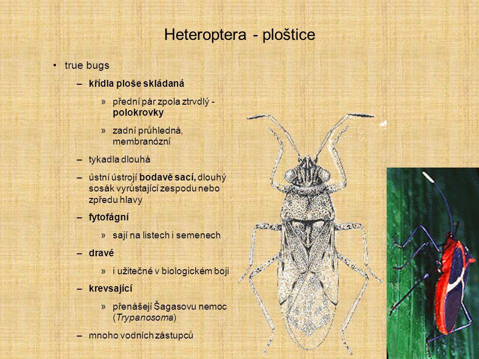 Heteroptera - ploštice