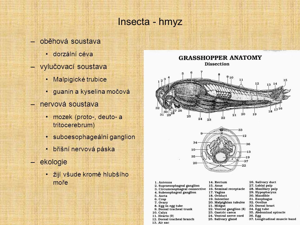 Insecta - hmyz oběhová soustava vylučovací soustava nervová soustava