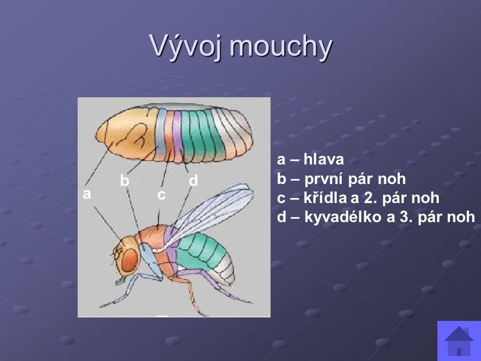 Vývoj mouchy a – hlava b – první pár noh c – křídla a 2. pár noh