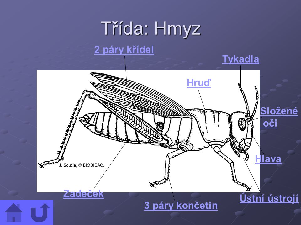 Třída: Hmyz 2 páry křídel Tykadla Hruď Složené oči Hlava Zadeček