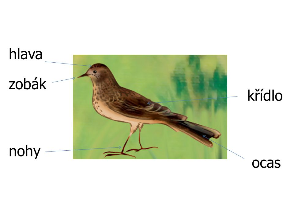hlava zobák křídlo nohy ocas