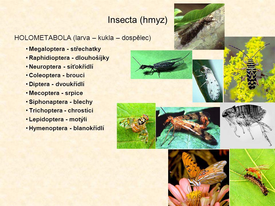 Insecta (hmyz) HOLOMETABOLA (larva – kukla – dospělec)