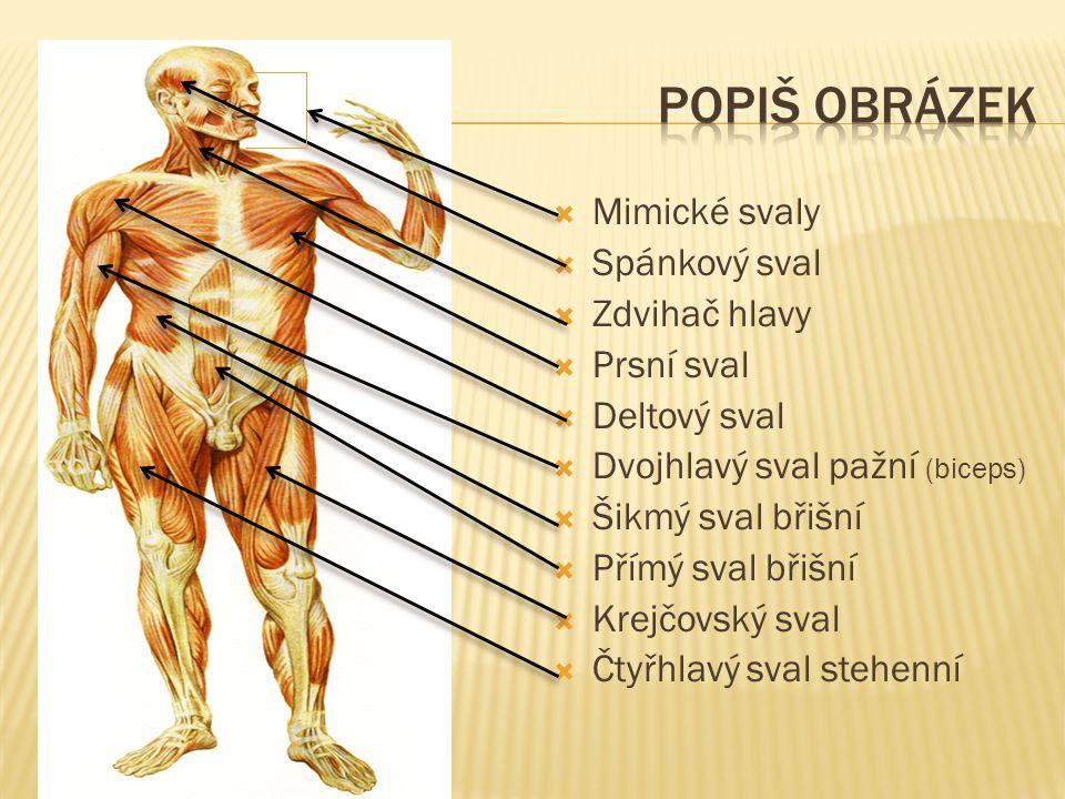 Popiš obrázek Mimické svaly Spánkový sval Zdvihač hlavy Prsní sval