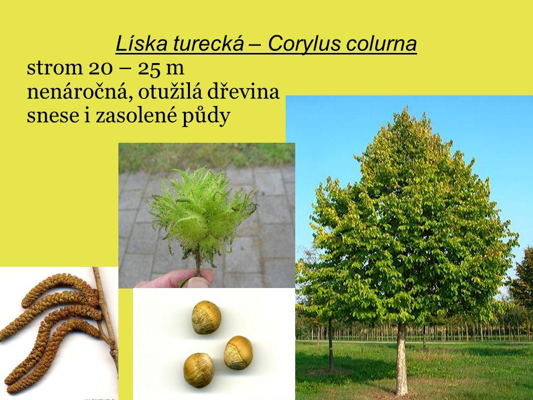 Líska turecká – Corylus colurna