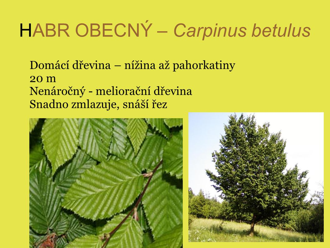HABR OBECNÝ – Carpinus betulus