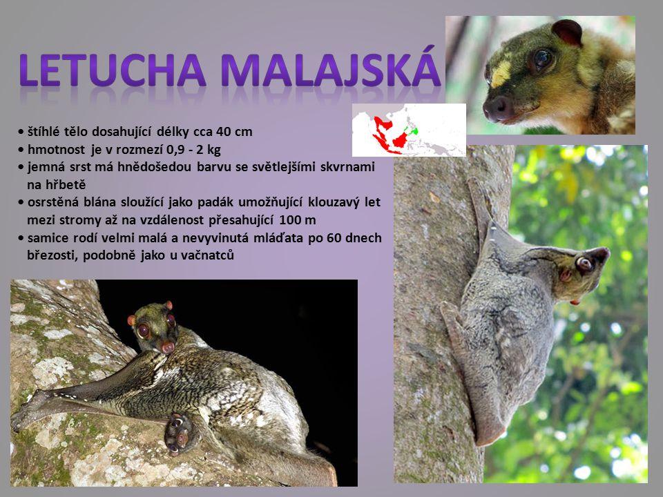 Letucha malajská • štíhlé tělo dosahující délky cca 40 cm