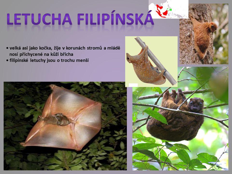 Letucha filipínská • velká asi jako kočka, žije v korunách stromů a mládě. nosí přichycené na kůži břicha.
