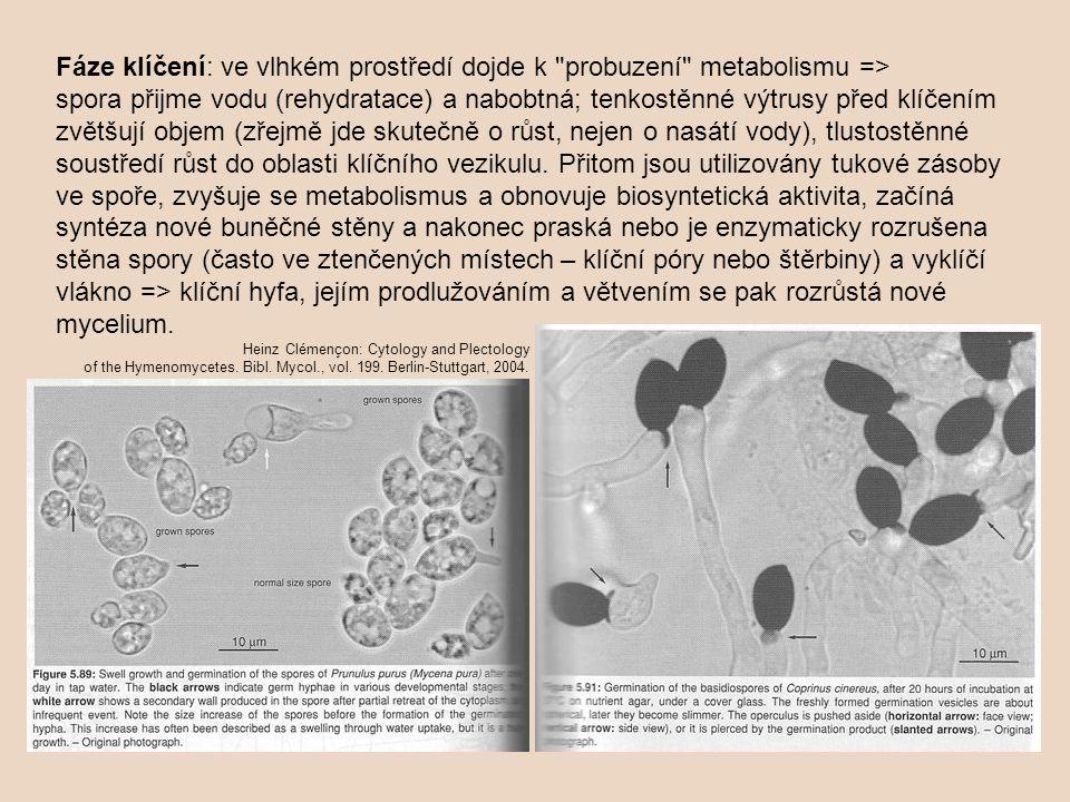 Fáze klíčení: ve vlhkém prostředí dojde k probuzení metabolismu => spora přijme vodu (rehydratace) a nabobtná; tenkostěnné výtrusy před klíčením zvětšují objem (zřejmě jde skutečně o růst, nejen o nasátí vody), tlustostěnné soustředí růst do oblasti klíčního vezikulu. Přitom jsou utilizovány tukové zásoby ve spoře, zvyšuje se metabolismus a obnovuje biosyntetická aktivita, začíná syntéza nové buněčné stěny a nakonec praská nebo je enzymaticky rozrušena stěna spory (často ve ztenčených místech – klíční póry nebo štěrbiny) a vyklíčí vlákno => klíční hyfa, jejím prodlužováním a větvením se pak rozrůstá nové mycelium.