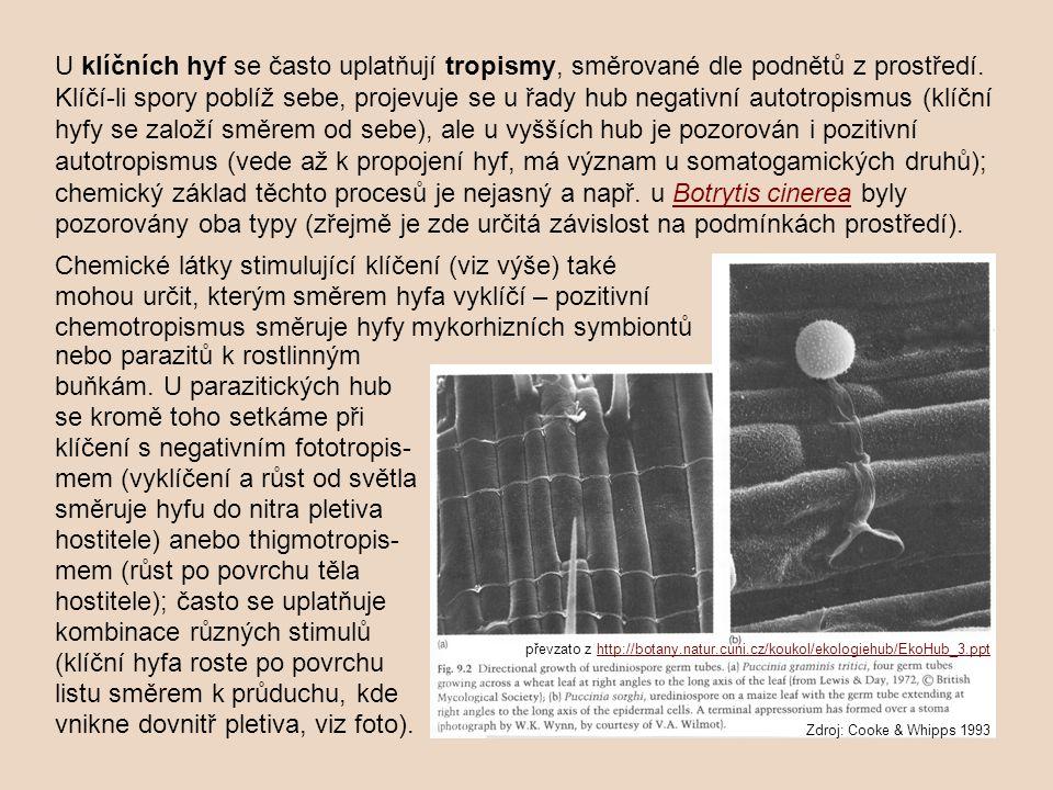 U klíčních hyf se často uplatňují tropismy, směrované dle podnětů z prostředí. Klíčí-li spory poblíž sebe, projevuje se u řady hub negativní autotropismus (klíční hyfy se založí směrem od sebe), ale u vyšších hub je pozorován i pozitivní autotropismus (vede až k propojení hyf, má význam u somatogamických druhů); chemický základ těchto procesů je nejasný a např. u Botrytis cinerea byly pozorovány oba typy (zřejmě je zde určitá závislost na podmínkách prostředí).