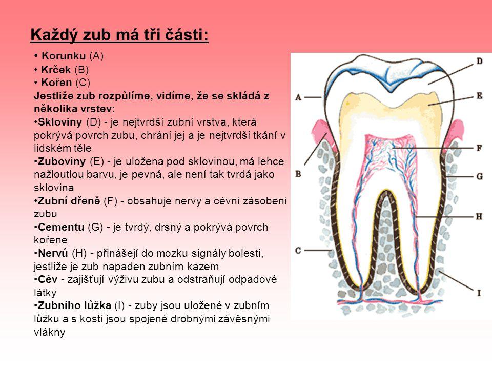 Každý zub má tři části: Korunku (A) Krček (B) Kořen (C)