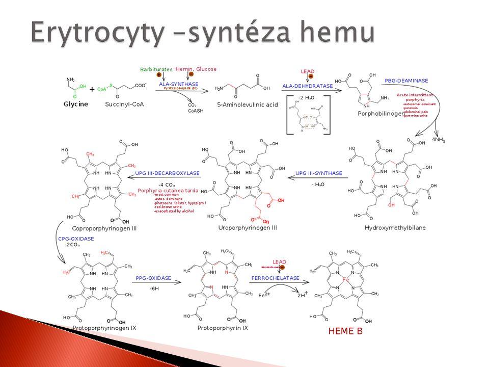 Erytrocyty –syntéza hemu