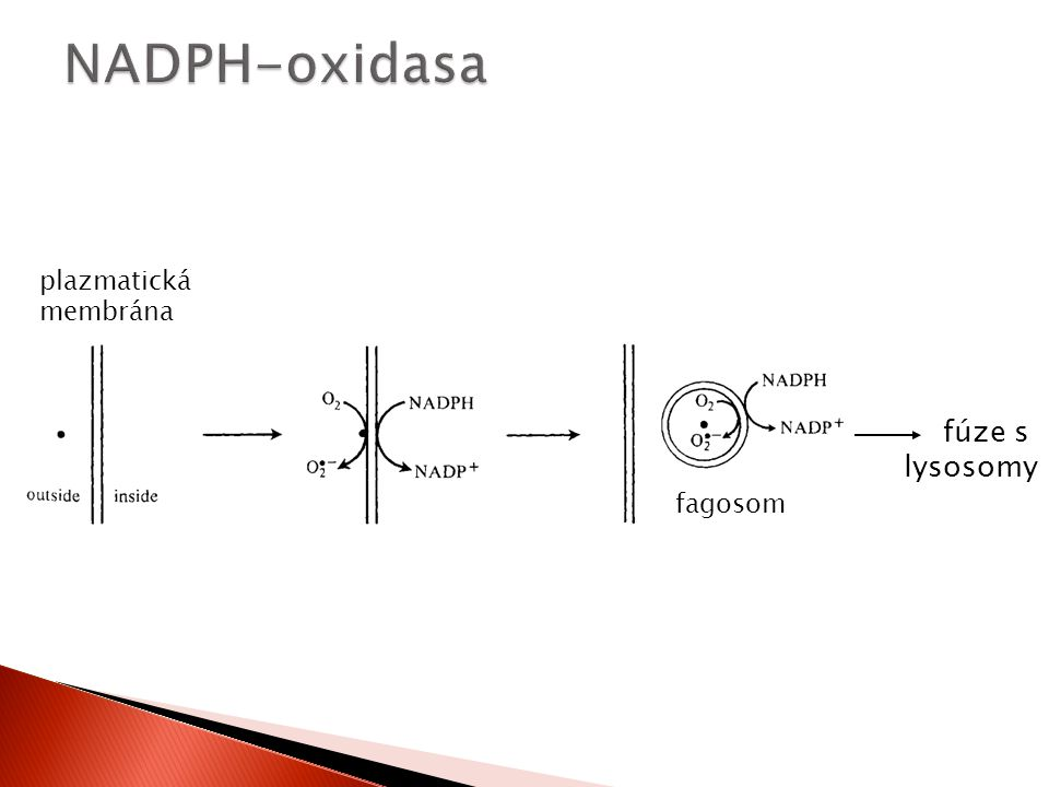 NADPH-oxidasa plazmatická membrána fúze s lysosomy fagosom