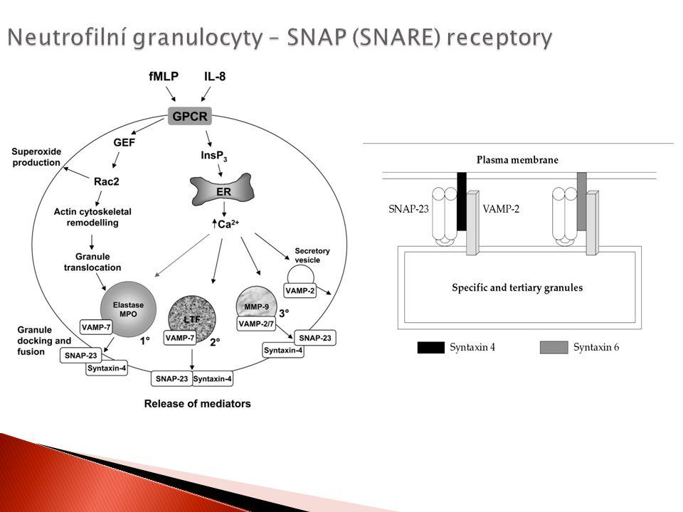 Neutrofilní granulocyty – SNAP (SNARE) receptory