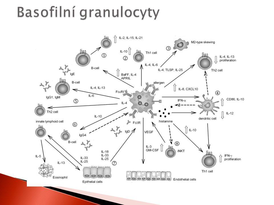 Basofilní granulocyty