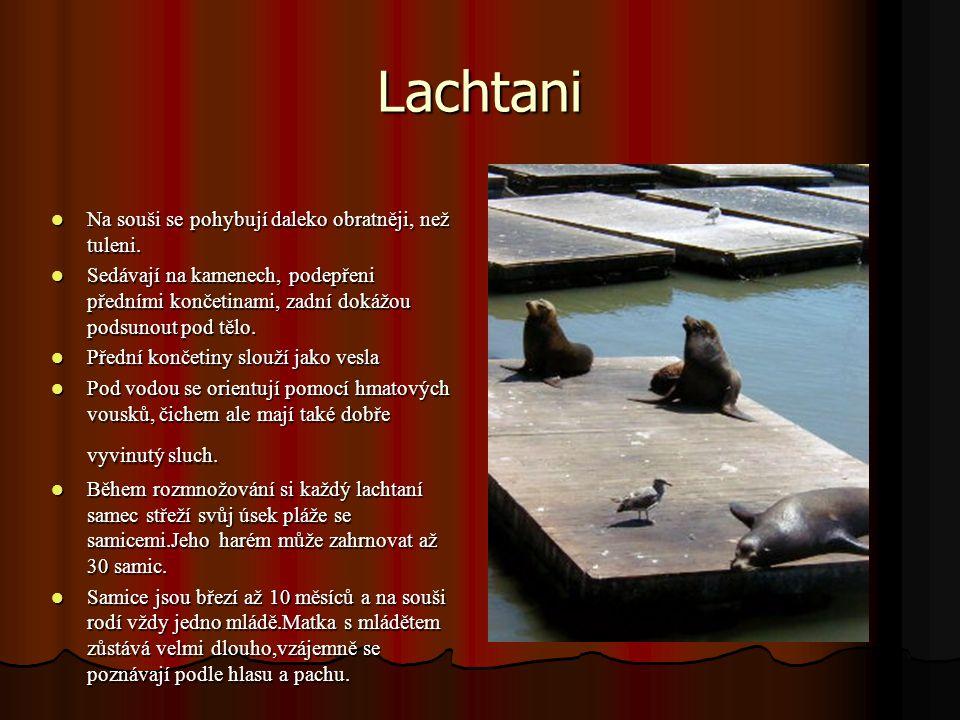 Lachtani Na souši se pohybují daleko obratněji, než tuleni.