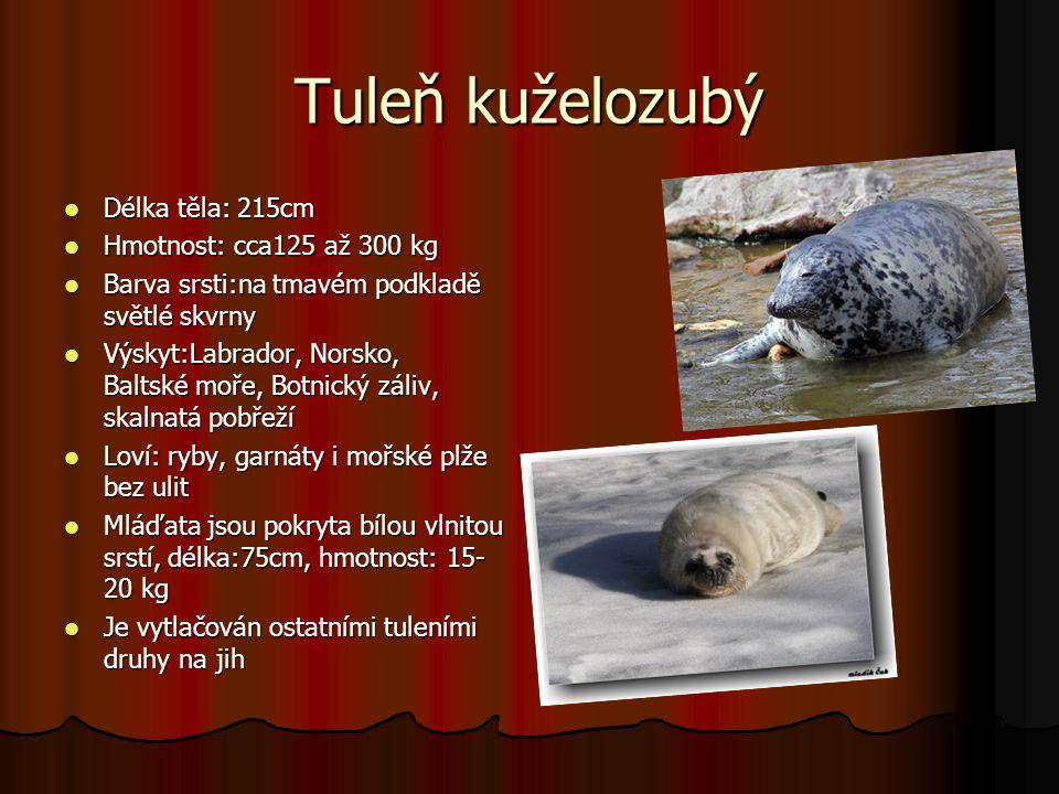 Tuleň kuželozubý Délka těla: 215cm Hmotnost: cca125 až 300 kg