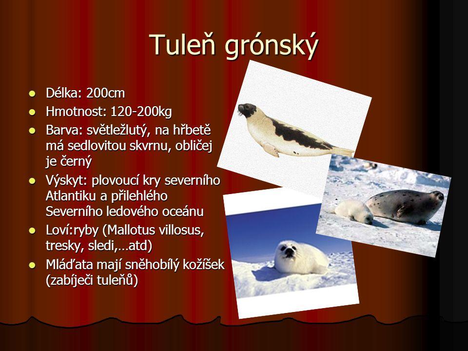 Tuleň grónský Délka: 200cm Hmotnost: 120-200kg