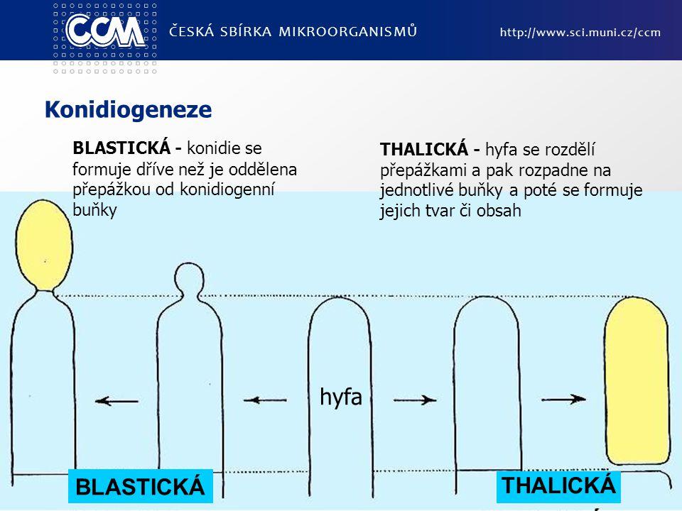 Konidiogeneze hyfa BLASTICKÁ THALICKÁ