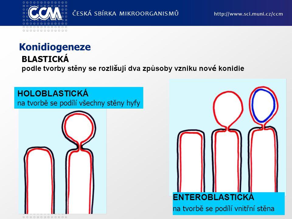 Konidiogeneze BLASTICKÁ HOLOBLASTICKÁ ENTEROBLASTICKÁ