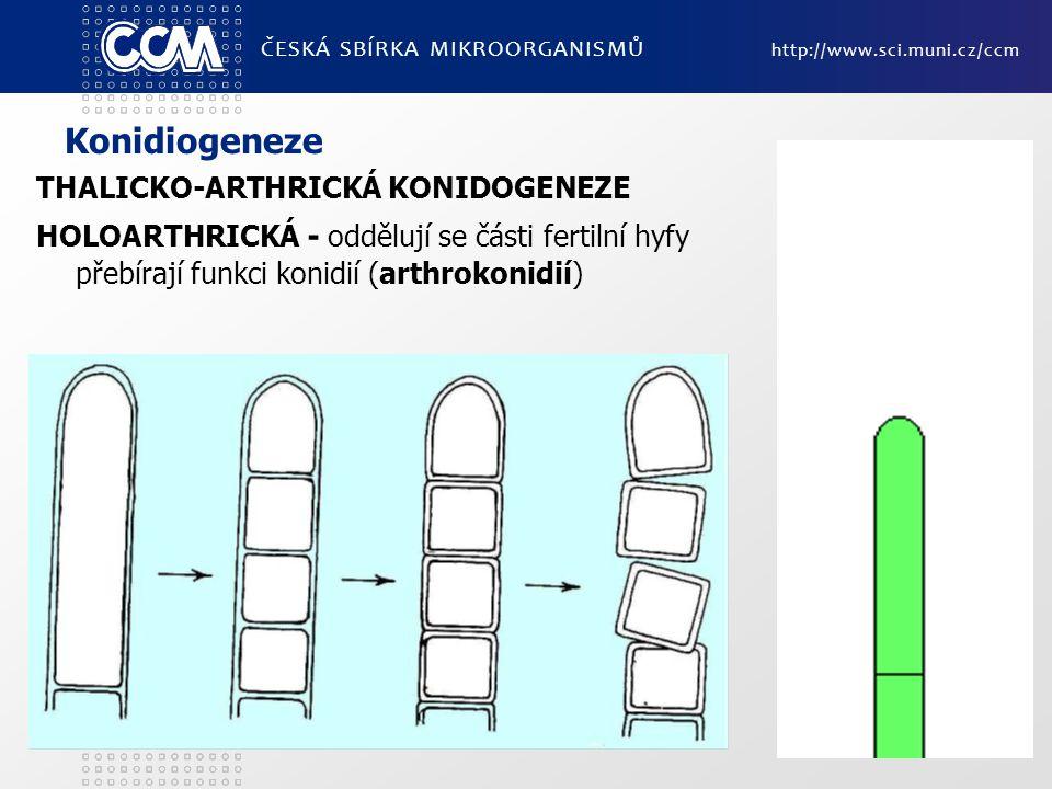 Konidiogeneze THALICKO-ARTHRICKÁ KONIDOGENEZE