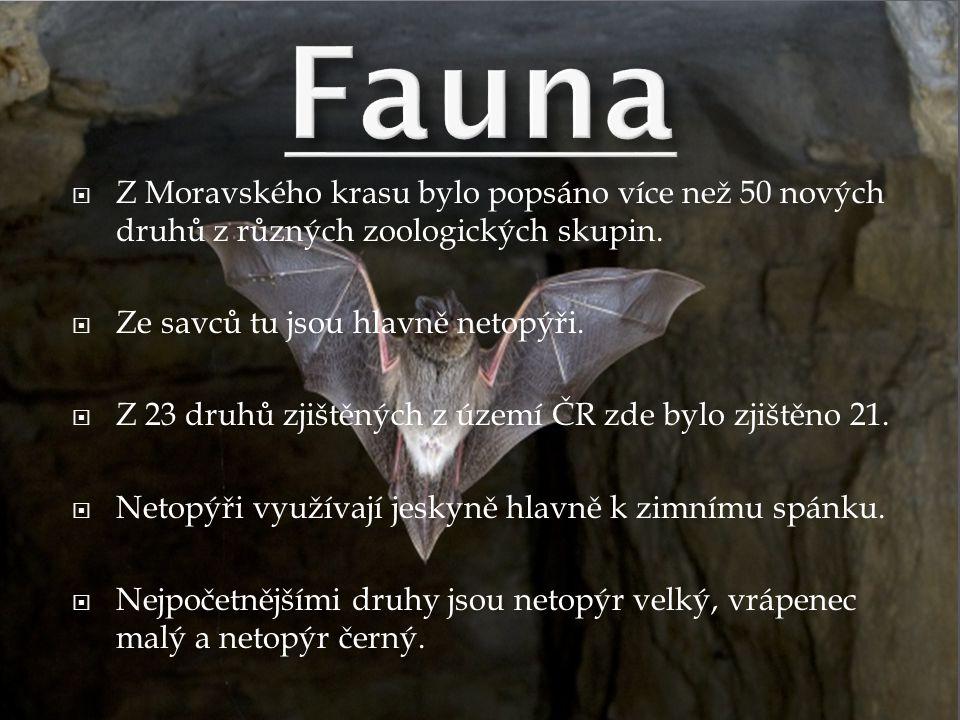 Fauna Z Moravského krasu bylo popsáno více než 50 nových druhů z různých zoologických skupin. Ze savců tu jsou hlavně netopýři.