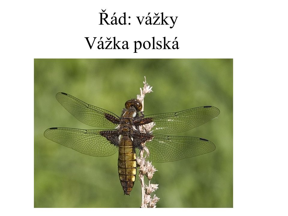 Řád: vážky Vážka polská