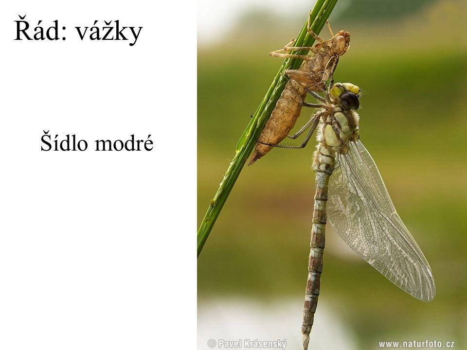 Řád: vážky Šídlo modré