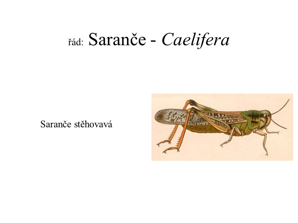 řád: Saranče - Caelifera