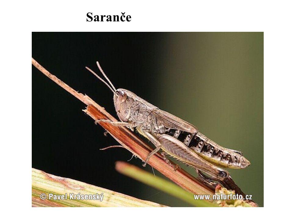 Saranče