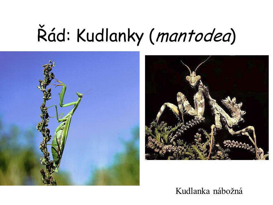 Řád: Kudlanky (mantodea)