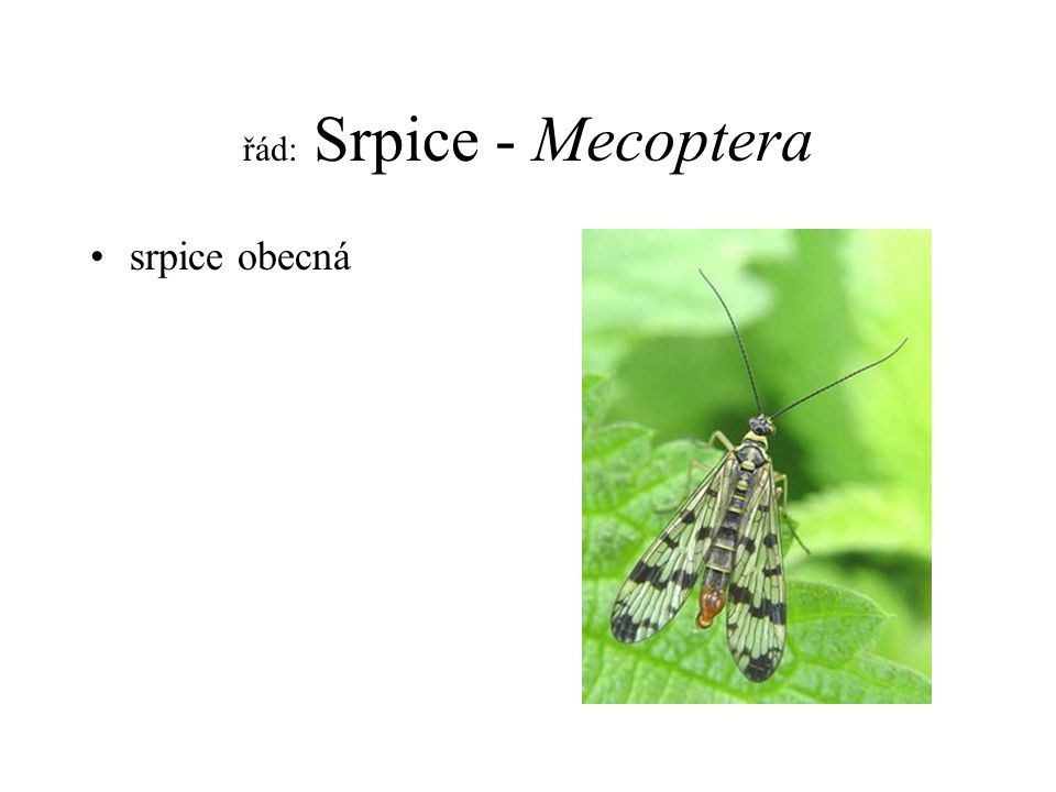 řád: Srpice - Mecoptera