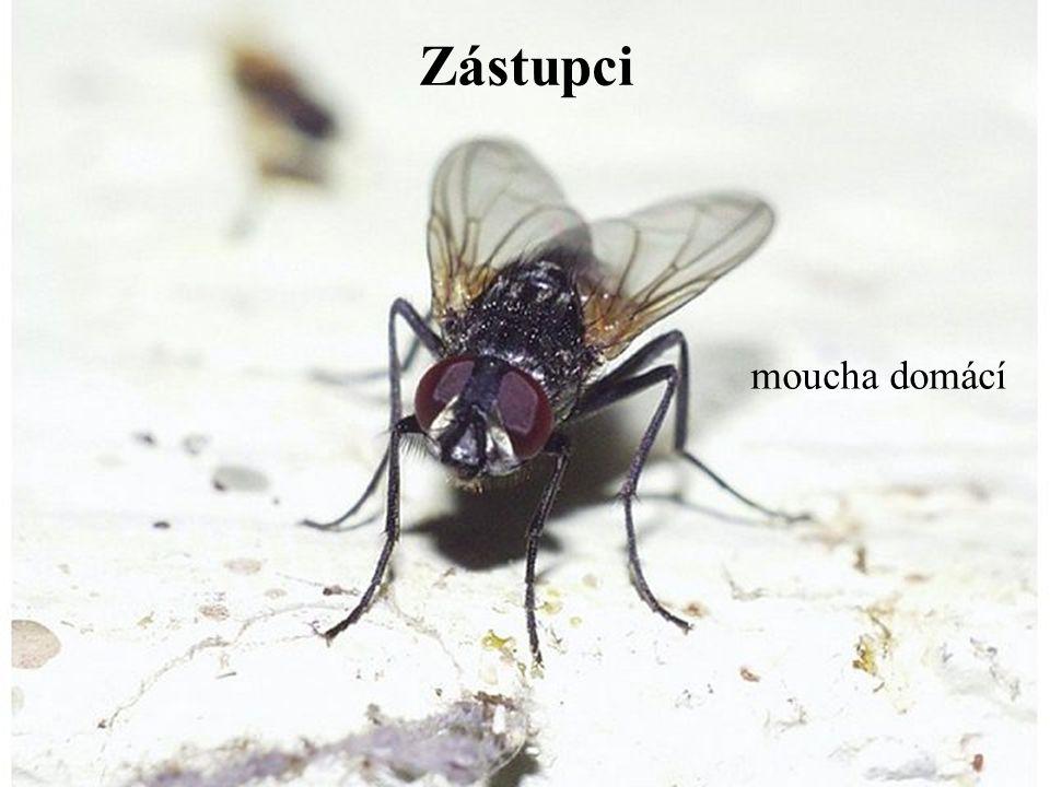 Zástupci moucha domácí